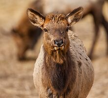 Elk Calf by Jim Stiles