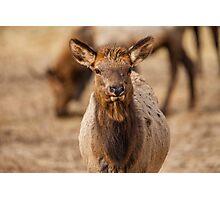 Elk Calf Photographic Print