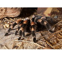 Beautiful Red Knee Tarantula