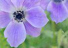 wild anemones by Teresa Pople