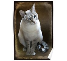 Lilac Point Siamese ~ Old Blue Eyes Poster
