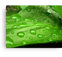 Green leaf of calla Canvas Print