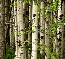 Silver birch trees by WeLikeBears