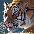 TIGER STALKING by TJ Baccari Photography