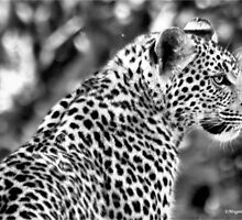 THE LEOPARD - Panthera pardus by Magriet Meintjes