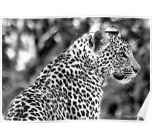 THE LEOPARD - Panthera pardus Poster