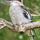 Kookaburra by Ross Campbell