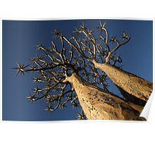 Quiver Trees (Aloe dichotoma) Poster