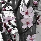 Plum Blossom Splash by Kristin Hamm