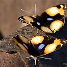 FEMALE YELLOW PANSY - Genus Junonia, Pansies  by Magaret Meintjes