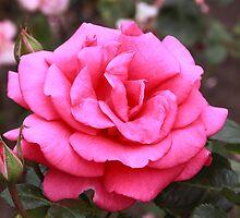 Woolmers Rose by Mishka Góra