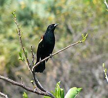 Redwing Blackbird by Desslok2199