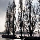 Poplars in winter by David Isaacson
