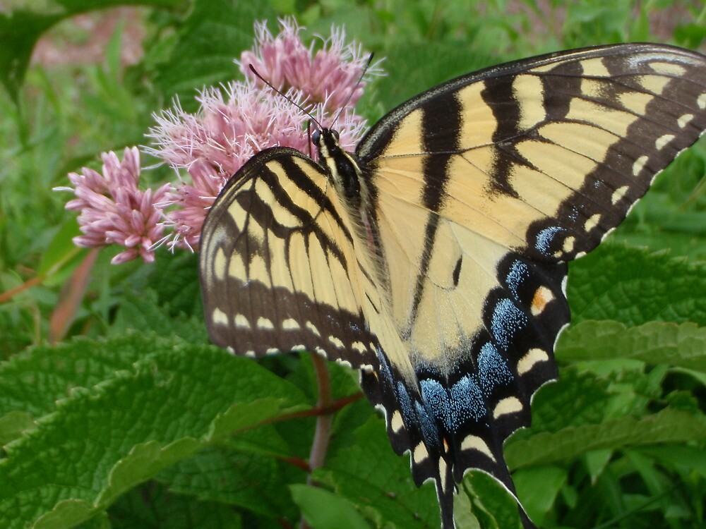 Tiger Swallowtail on Milkweed Flower by SenskeArt