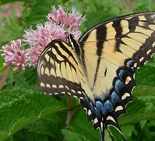 Tiger Swallowtail on Milkweed Flower by SenskeArt