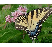 Tiger Swallowtail on Milkweed Flower Photographic Print