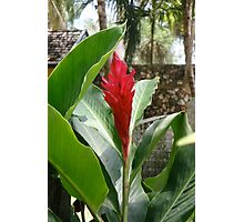 Jamaican Ginger Flower Photographic Print