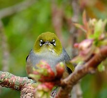 I Am NEVER Grumpy!!! - Silver-Eye - NZ by AndreaEL