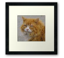 An Orange Tabby:  Old and wise Framed Print