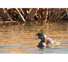 Pied-billed Grebe~ Open bill, Close Shutter Photographic Print