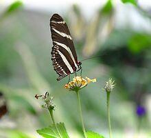 Zebra Longwing - Heliconius Charitonius by Poete100