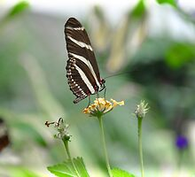 Zebra Longwing - Heliconius Charitonius by Poete100
