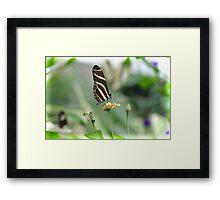 Zebra Longwing - Heliconius Charitonius Framed Print