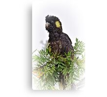 Yellow Tailed Black Cockatoo Canvas Print