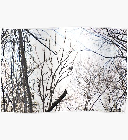 Bald Eagle Calling, sitting on branch. Poster