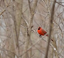 Northern Cardinal resting. by Samuel  Wright