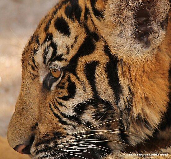 Tiger series 003 by Karl David Hill