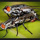 Marble Flesh Flies procreating by wildrider58