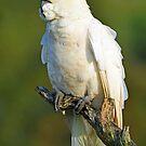 Sulphur Crested Cockatoo. Cedar Creek, Queensland Australia (2). by Ralph de Zilva