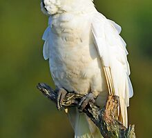 Sulphur Crested Cockatoo. Cedar Creek, Queensland Australia (2). by Ralph de Zilva