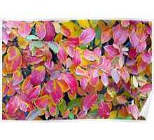 Background of vivid red leaves of autumn bush close-up Poster