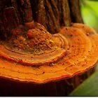 orange-brown bracket fungus by lensbaby
