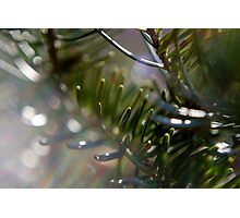 Blue Spruce in the Morning Sun Photographic Print