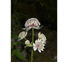 Nature Photography: Pink and White Flowers from the French Alps Photographic Print