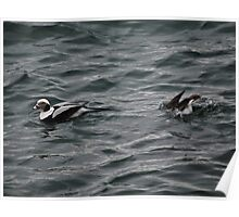 Long Tailed Ducks Poster