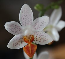 Mini Orchid by karina5