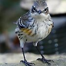 Yellow-rumped Warbler by Dennis Cheeseman