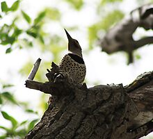 Red-shafted Northern Flicker by Alyce Taylor