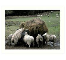 Sheep Feeding Art Print
