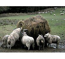 Sheep Feeding Photographic Print