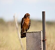 Northern Harrier Hawk Female by Richard Labelle