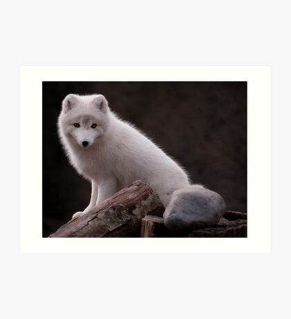 Arctic Fox Point Defiance Zoo - Sitting Pretty Art Print