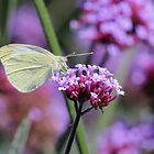 Cabbage White Butterfly by hummingbirds