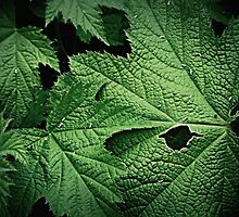 Leaves of ThimbleBerry by Alice Schuerman
