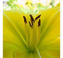 Yellow Daylily Photographic Print