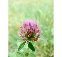 Small Red Clover Photographic Print